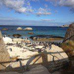 Penguins at Boulders Beach, Cape Town.