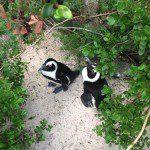 Penguins Duo.