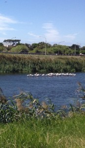 Flamingos in Rondebosch