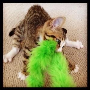 kitten pulling on feather boa