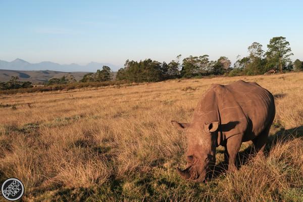 Gondwana rhinos