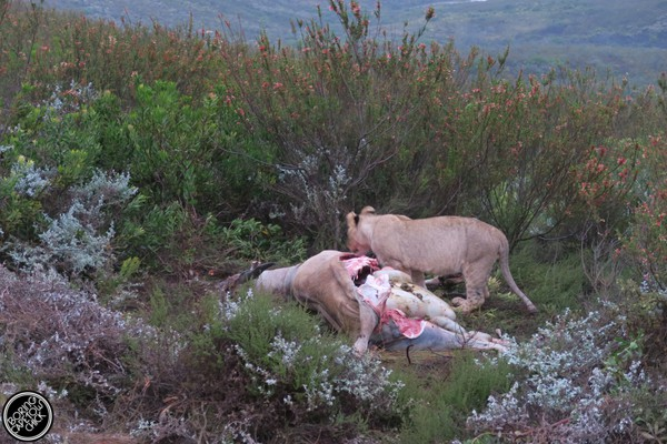 Gondwana Game Reserve: Day 3 The Lion Kill