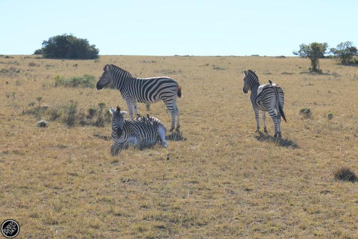 Kwantu Game Reserve - Morning Safari Drive - Boring Cape Town Chick 18