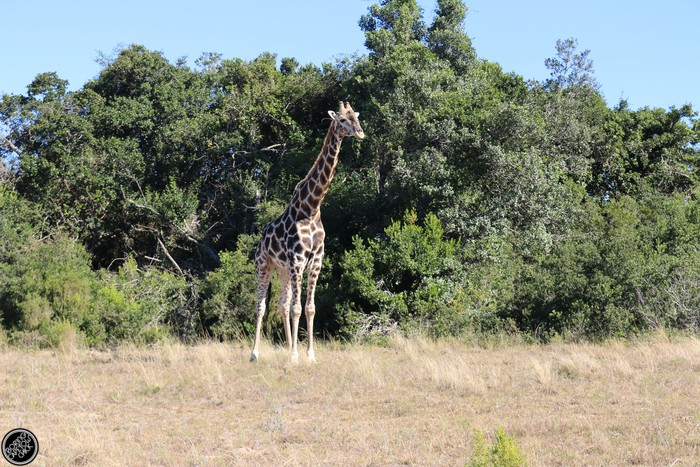 Kwantu Game Reserve - Morning Safari Drive - Boring Cape Town Chick 25