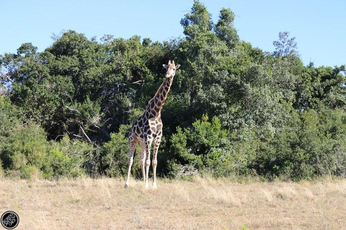 Kwantu Game Reserve - Morning Safari Drive - Boring Cape Town Chick 26