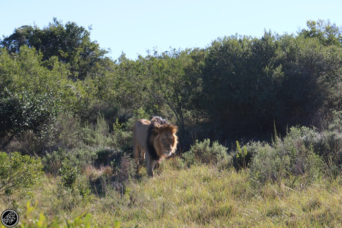 Kwantu Game Reserve - Morning Safari Drive - Boring Cape Town Chick 30