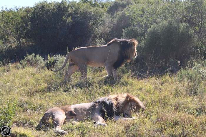 Kwantu Game Reserve - Morning Safari Drive - Boring Cape Town Chick 32